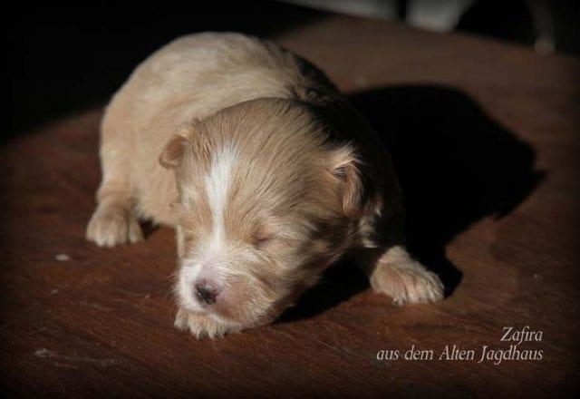Zafira aus dem Alten Jagdhaus – Hündin – reserviert