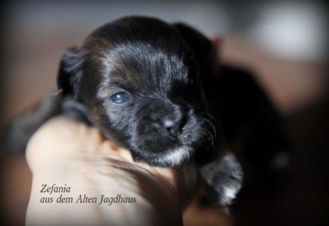 Zefania aus dem Alten Jagdhaus – Hündin – reserviert