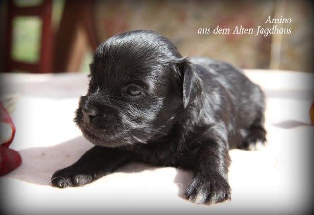 Amino aus dem Alten Jagdhaus – Rüde – reserviert